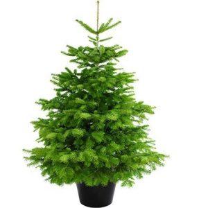 Echter Weihnachtsbaum – Nordmanntanne im Topf 100-120 cm
